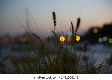 Sydney, NSW Australia - purple lea wild grass growing next to water with bokeh city lights in the background