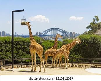 Sydney, NSW/ Australia-Nov 18, 2014: Giraffe at Taronga Zoo in Sydney with city view.