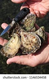 Sydney rock oysters