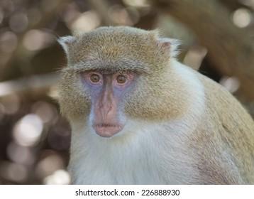 Syke's Monkey, Cercopithecus albogularis