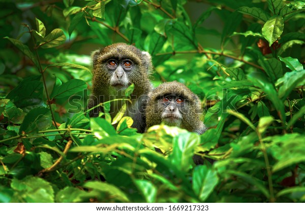 Sykes' monkey (Cercopithecus albogularis), also known as the white-throated monkey or Samango monkey, is an Old World monkey found between Ethiopia and South Africa