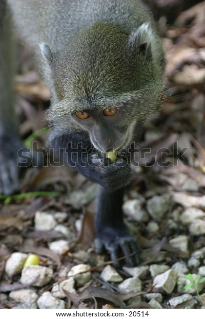 Sykes Monkey Eating Seed