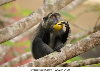 Sykes monkey holds a fruit with both hands to eat.