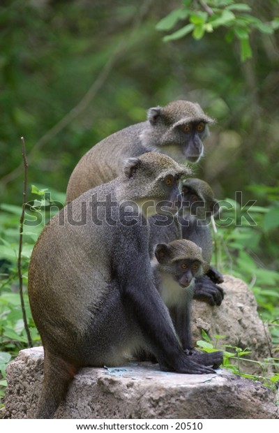 Sykes monkey mothers and infants