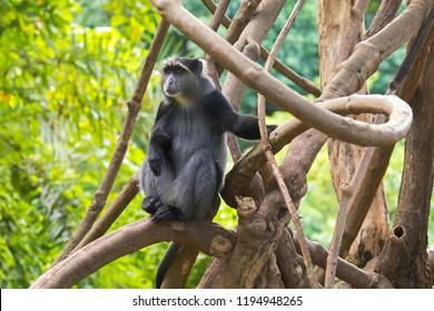 Sykes' monkey (White throated monkey, Samango monkey) Old World monkey sitting on branch in Manyara Region, Tanzania, East Africa (Cercopithecus albogularis)