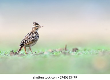 Sykes's lark is a species of lark found in the dry open country of India. Its distribution is mainly restricted to central India.