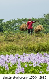SYLHET, BANGLADESH - 14 APRIL, 2018: A farmer carries recently harvested rice on a carrying pole.