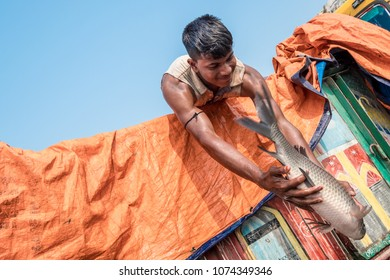 SYLHET, BANGLADESH - APRIL 9, 2018: A young fisherman with bare muscled arms throws a large live fish from the back of a truck to his partners at a fish market.