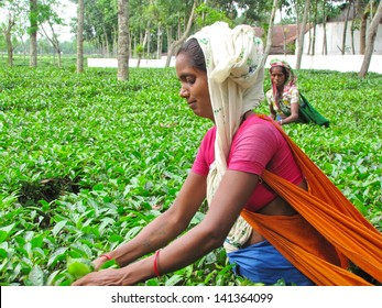 SYLHET, BANGLADESH - JUNE 6: Women harvest tea on June 6, 2013 in Sylhet Division, Bangladesh. Women in Bangladesh's labor force are an increasingly important source of household income.