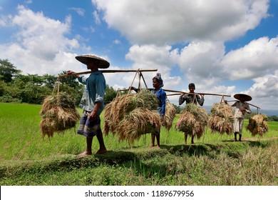 Sylhet, Bangladesh - September 23, 2018: Bangladeshi farmers carry harvested paddy at a fields in jaintapur village, Sylhet, Bangladesh. Rice is the main food of Bangladeshi people.