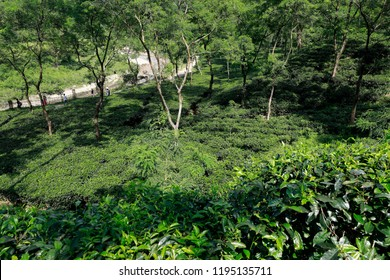Sylhet, Bangladesh - September 23, 2018: Lalakhal tea garden,which is another top tourist attraction at Jaintapur, is covered with hills, natural forests, tea gardens in Sylhet, Bangladesh.