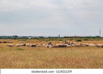 Sylt - View to Flock of sheep in the Heath and City Church St. Nicolai at Westerland, Schleswig-Holstein, Germany, Sylt, 09.06.2018