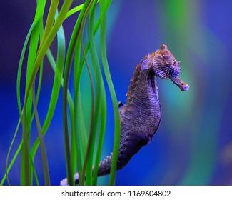 Sylvester The Seahorse