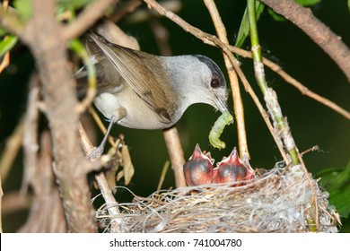 Sylvia atricapilla. The nest of the Blackcap in nature. Russia, the Ryazan region (Ryazanskaya oblast), the Pronsky District.