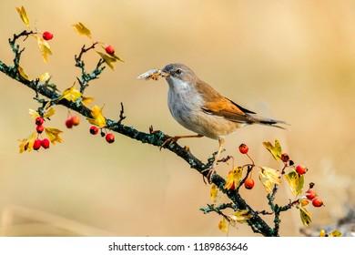 Sylvia borin garden warbler