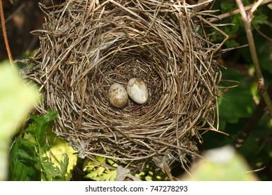 Sylvia borin. The nest of the Garden Warbler in nature. Russia. Russia, the Ryazan region (Ryazanskaya oblast), the Pronsky District.