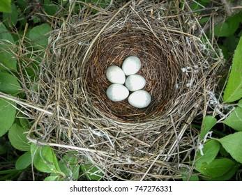 Sylvia nisoria. The nest of the Barred Warbler in nature.Russia, the Ryazan region (Ryazanskaya oblast), the Pronsky District, Denisovo.