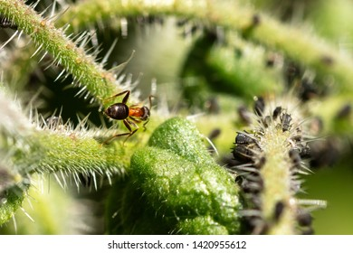 Symbiosis, teamwork and cohabit of insects, aphids and ants on a green plant, closeup