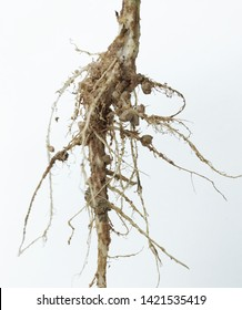 Symbiotic bacteria form a nodule in root pea. .