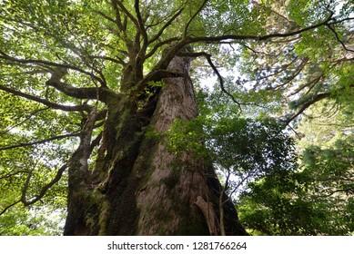 Symbiotic big tree