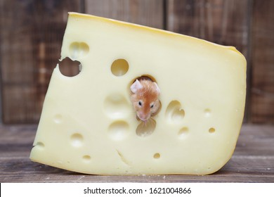 Symbol of Chinese New Year: rat. Dreams come true! Cute happy and fed mouse in tasty Swiss cheese with holes. Full pet - gourmet. Funny satiated animal. Mouse has delicious dinner. Glutton, gluttony