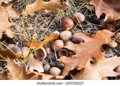 Symbol of fall. Close up ripe acorns and oak leaves on ground. Autumn forest concept. Gifts of fall. Nature beauty. Cute acorns. Many little acorns backdrop. Autumnal cozy background.