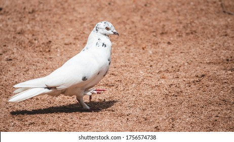 symbol of hope and peace White pigeon pose for portraiture