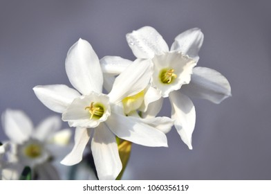Symbol of Spring. White colored Daffodil, Narcissi (Italia) bulb is blooming.