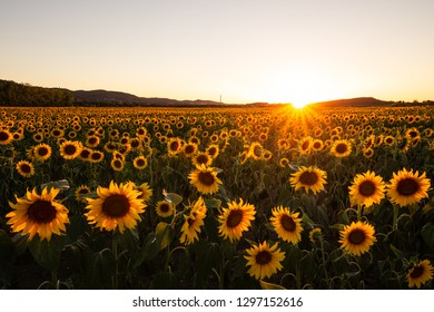 The Symbol of summer - sunflower field in the evening