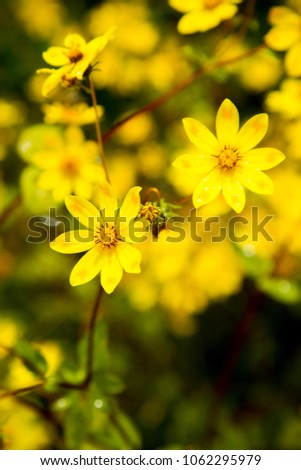 Symbolic Yellow Flowers Ethiopia Stock Photo Edit Now 1062295979