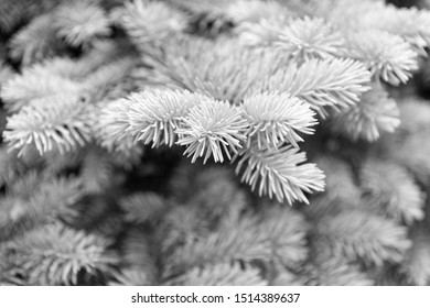 Symbolizing immortality and eternal life. Spruce or conifer plant. Spruce fir or needles on blurred natural background. Branches of pine spruce. Coniferous evergreen spruce tree.