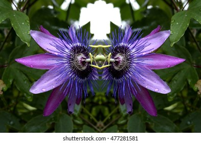 symmetrical composition, kaleidoscopic, mirror effect,passion flower, spring, background, flowers, flower, nature, floral, garden, summer, beautiful, landscape, pink, blossom, white, tree, green, sun,