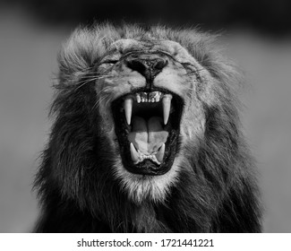 A symmetrical image of a male Lion roaring, showing his canines.