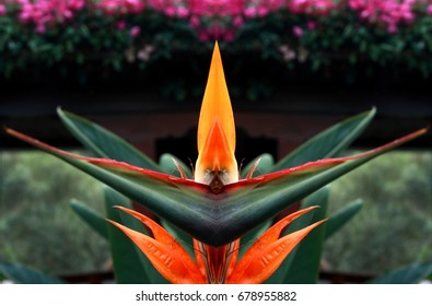 Symmetrical photographs,The bird of paradise flower is a perennial herb of great development ,Strelitzia reginae flowers. 5-8 formed by large orange-yellow sepals and three petals deep blue