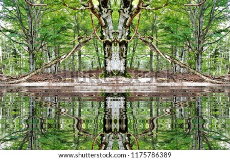 symmetrical photography reflection water beech trees stock photo