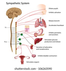 Sympathetic pathway of the ANS