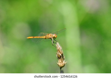 Sympetrum is a genus of small to medium-sized skimmer dragonflies. Dragonfly flattened ( Sympetrum depressiusculum) - the form of the genus Sympetrum dragonflies. Dragonfly female.