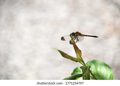 """Sympetrum infuscatum. It is called """"Noshime tonbo"""" in Japan."""