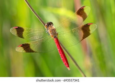 An Sympetrum pedemontanum banded darter dragonfly on a plant
