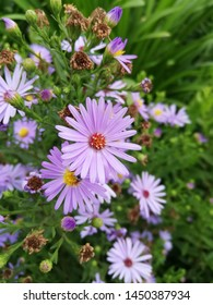 Symphyotrichum laeve (smooth blue aster, smooth aster, smooth-leaved aster, glaucous Michaelmas-daisy or glaucous aster) is a flowering plant native to Canada and the USA .