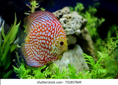Symphysodon aequifasciatus,Discus,pompadour fish are colorful, graceful, bright colors, popular as freshwater aquarium fish,there are native to the Amazon river basin in South America,Cichlidae.