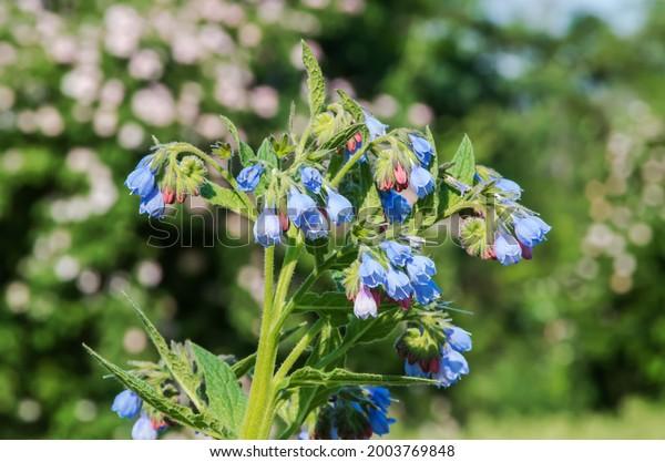 symphytum-genus-flowering-plants-borage-
