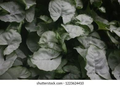 Syngonium podophyllum , albo-virens , Light Green leaves