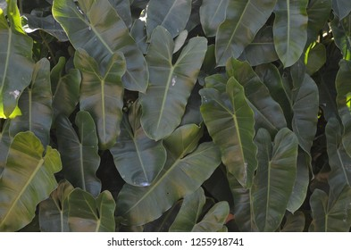 Syngonium podophyllum, Ngern Lai Ma in Thai, other names including arrowhead plant, arrowhead vine, arrowhead philodendron, goosefoot, African evergreen, and American evergreen in Araceae family