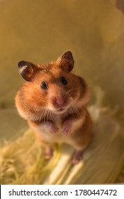 Syrian brown hamster on a yellow background