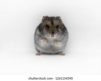 Baby Hamster Images, Stock Photos & Vectors | Shutterstock