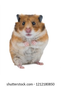 Syrian hamster isolated on white background