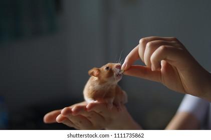 syrian hamster life