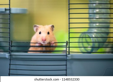 A Syrian hamster peeking out of its cage