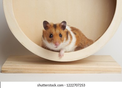 Syrian hamster play with an hamster wheel white background